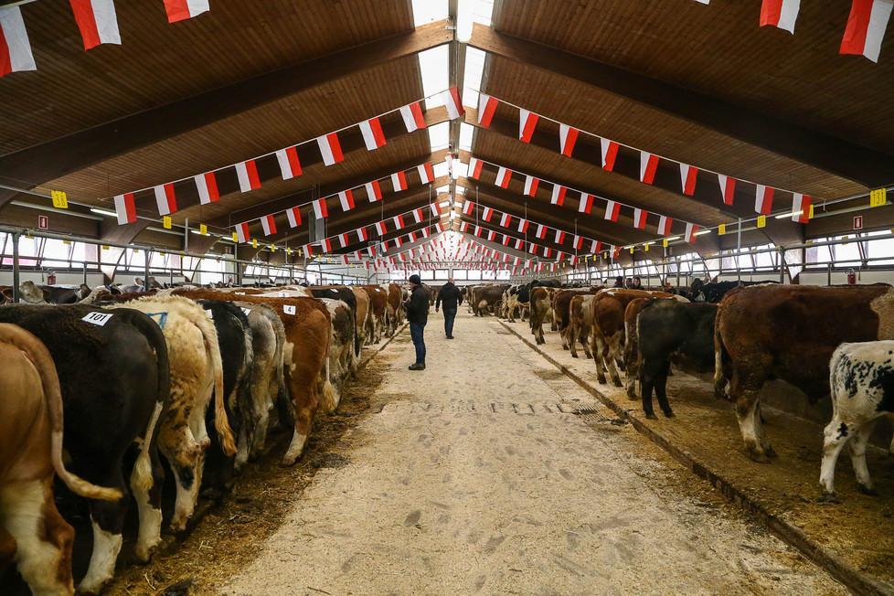 Calendario Aste Bolzano.Bolzano All Asta 800 Mucche Manzi E Pecore Foto Alto Adige